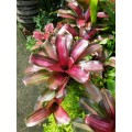 Bromeliad (Neoregelia sp.)